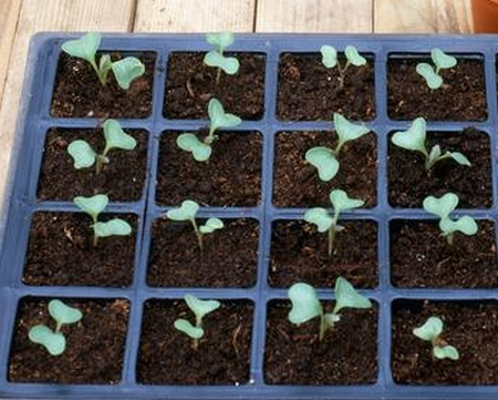When to plant cabbage on seedlings to get the best result  Planting