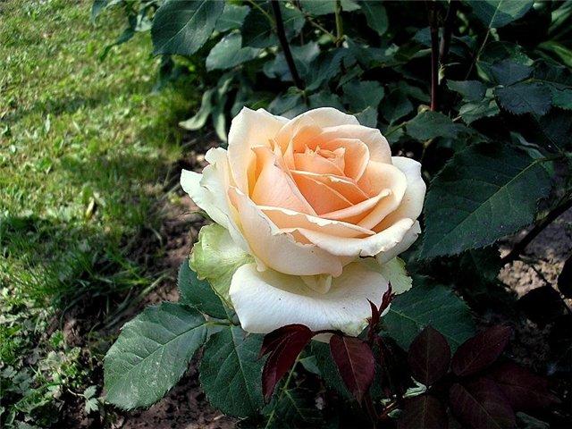Come prendersi cura di una rosa tea. Rose del tè: una descrizione ...